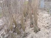 растения для живых изгородей