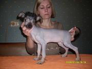 Китайская хохлатая собачка щенки