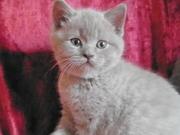 котенок британский