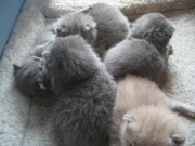 Предлагаю к резервированию британских  котят