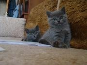 Британский котенок (мальчик) 2 мес.