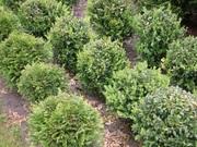 Декоративные растения для участка,  Брест   ,   oazis-vo-dvore.by