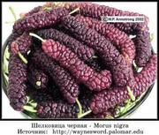 Шелковица крупноплодная сортовая морозостойкая