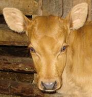 Продаю корову джерсейской породы