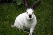 Предлагаю мясо молодого кролика (тушки),  также  живых,  оптом и розница