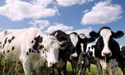 Куплю коров,  быков живым весом дорого,  опт