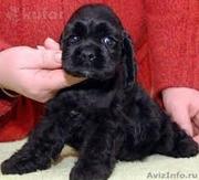 Очаровательные щенки американского кокер спаниеля