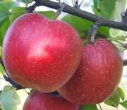 Яблоки оптом от производителя!