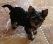 щенок мини-йорика (девочка)
