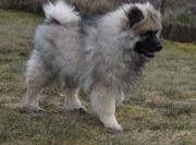 Кеесхонд/вольфшпиц очаровательные щенки от родителей чемпионов