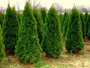 Саженцы декоративных деревьев и кустарников.