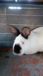 Мясо кролика и кролики Калифорнийцы