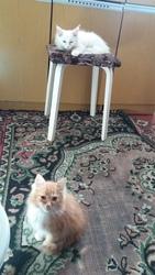 котята  полупушистые