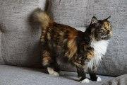 Кошка Сияна,  1, 5 года. Стерилизована.