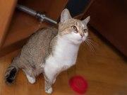 Кошка Тесла,   стерилизована,  в хорошие руки