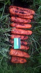 Морковь крупным оптом напрямую от производителя,  от 20 тонн