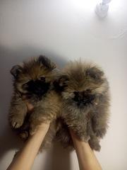 Продам щенков померанского шпица (девочки)