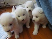 Самоедская собака (щенки)