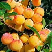 Колоновидные абрикосы,  персики,  вишни,  черешни,  сливы,  груши,  яблони 1
